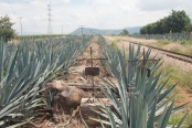 Agave y muertos. Tequila, Jalisco